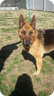 German Shepherd Dog Dog for adoption in Gainesville, Virginia - Dexter