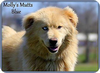 Alaskan Malamute/Great Pyrenees Mix Dog for adoption in Dixon, Kentucky - Blue