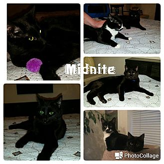 Domestic Shorthair Cat for adoption in Arlington/Ft Worth, Texas - Midnite