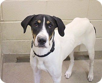Treeing Walker Coonhound Mix Dog for adoption in Williamsburg, Virginia - Clayton