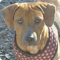 Adopt A Pet :: Anais!  Puppy - St Petersburg, FL