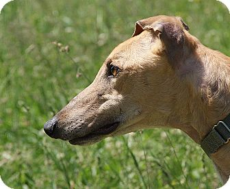 Greyhound Dog for adoption in Portland, Oregon - Winner