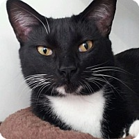 Domestic Shorthair Cat for adoption in Arcata, California - Belle