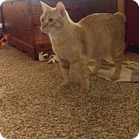 Manx Cat for adoption in Coleman, Oklahoma - Buckwheat Barley