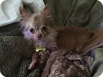 Chihuahua Dog for adoption in st peters, Missouri - Lilly