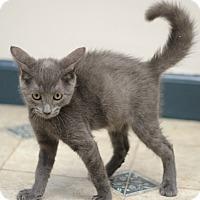 Russian Blue Kitten for adoption in Marietta, Georgia - Yale