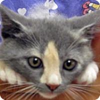 Domestic Shorthair Kitten for adoption in Wildomar, California - 312190