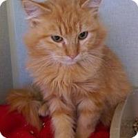 Domestic Shorthair Kitten for adoption in Fort Collins, Colorado - Corbin