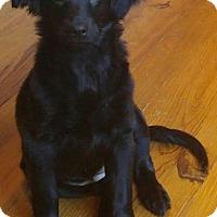 Flat-Coated Retriever Mix Puppy for adoption in Arden, North Carolina - Wynnie