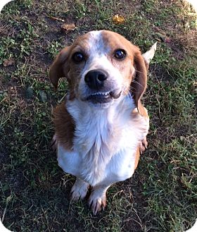 Beagle Mix Dog for adoption in Dumfries, Virginia - Rusty