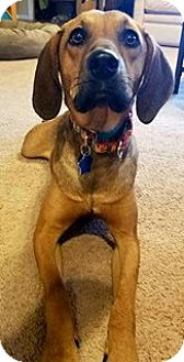 Hound (Unknown Type)/Pointer Mix Dog for adoption in Northville, Michigan - zLilly - ADOPTED