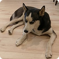 Adopt A Pet :: Ahsoka - Courtesy Post - Encino, CA