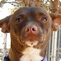 Chihuahua Mix Dog for adoption in Las Cruces, New Mexico - Lola