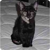 Domestic Shorthair Cat for adoption in Garland, Texas - Annie