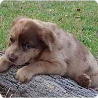 Adopt A Pet :: Obi-Wan Kenobi - Richmond, VA