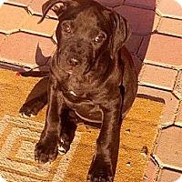 Adopt A Pet :: Athena - Phoenix, AZ