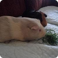 Adopt A Pet :: Marshmellow - San Antonio, TX