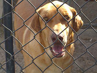 Redbone Coonhound/Labrador Retriever Mix Dog for adoption in Nashville, Georgia - Moose