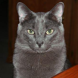 Russian Blue Cat for adoption in Cerritos, California - Cooper