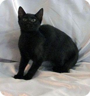 Domestic Shorthair Kitten for adoption in Sarasota, Florida - Mitzie