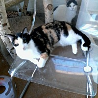 Calico Cat for adoption in Scottsdale, Arizona - Bridget