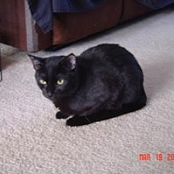 Photo 2 - Domestic Shorthair Cat for adoption in Medford, New Jersey - Boo Boo Kitty