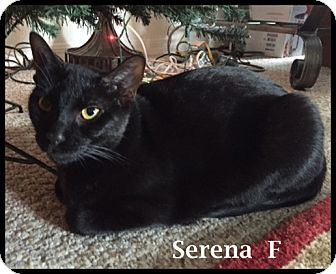 Domestic Shorthair Cat for adoption in Brandon, Florida - Serena