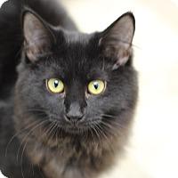 Domestic Longhair Kitten for adoption in Marietta, Georgia - Lil