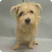 Glen of Imaal Terrier Mix Dog for adoption in Dartmouth, Massachusetts - Dior