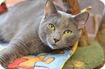 Domestic Shorthair Cat for adoption in Atlanta, Georgia - Earl Grey151934