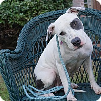 Pit Bull Terrier Dog for adoption in Arlington, Texas - Baby Ruth