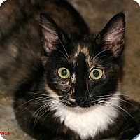 Domestic Mediumhair Cat for adoption in Encino, California - Allie