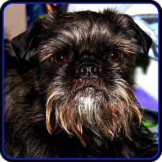 Affenpinscher Dog for adoption in Seymour, Missouri - FINLEY - ADOPTION PENDING