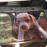 Adopt A Pet :: Virgo - Hohenwald, TN