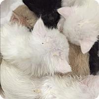 Adopt A Pet :: Brady bunch bottle babies - Denver, NC