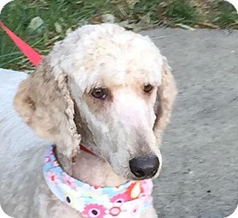 Standard Poodle Dog for adoption in Durham, North Carolina - Penny