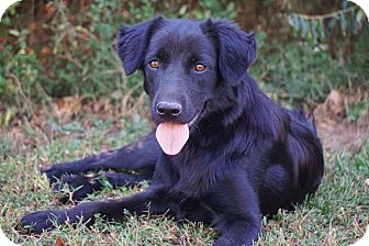 Flat-Coated Retriever/Labrador Retriever Mix Dog for adoption in Westport, Connecticut - Izzy