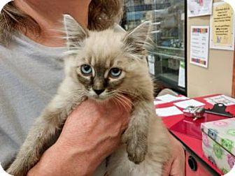 Siamese Kitten for adoption in Logan, Utah - Mitt