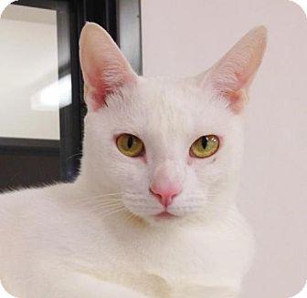 Domestic Shorthair Cat for adoption in Seal Beach, California - Lexi
