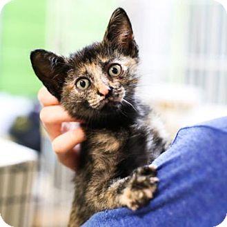 Domestic Shorthair Kitten for adoption in Austin, Texas - Sharon