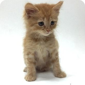 Domestic Mediumhair Kitten for adoption in Show Low, Arizona - Thor