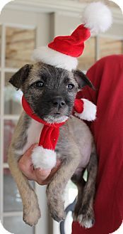 Schnauzer (Miniature)/Terrier (Unknown Type, Small) Mix Puppy for adoption in Buhl, Alabama - Giovanna-PENDING