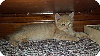 Domestic Shorthair Kitten for adoption in Island Park, New York - Aloe