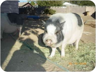 Pig (Potbellied) for adoption in Las Vegas, Nevada - Sweat Pea