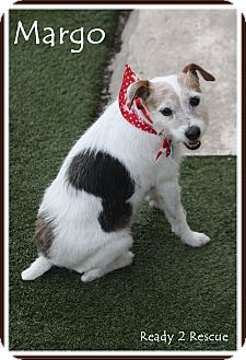 Jack Russell Terrier/Terrier (Unknown Type, Small) Mix Dog for adoption in Rockwall, Texas - Margo