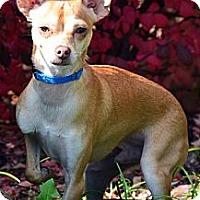 Adopt A Pet :: Rocky - Bridgeton, MO