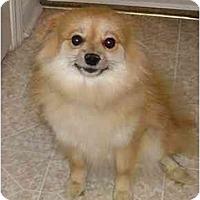 Adopt A Pet :: Ginger - Chesapeake, VA