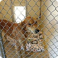 Adopt A Pet :: Shirley - La Follette, TN