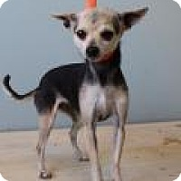 Adopt A Pet :: Gidget - Shawnee Mission, KS