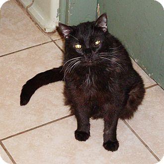 Domestic Mediumhair Cat for adoption in Pueblo, Colorado - Aslan
